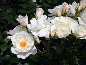 weiße-rosen-alba