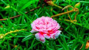 rosen-moosrose-gras
