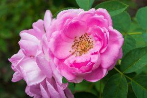 rosen-rosa-damascena-pink